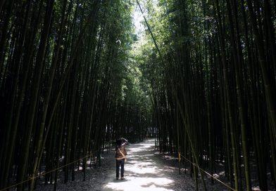 울산 태화 강변의 대나무 숲